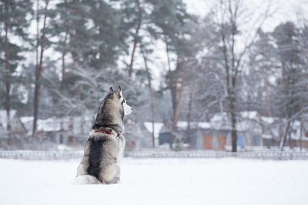sits: Siberian Husky sits on snow back to photographer. Winter walk in the park.
