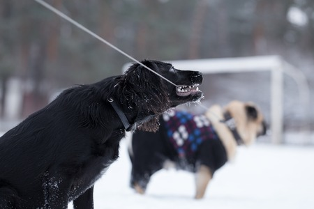 bound: Black spaniel chews leash that is bound to pug. Winter walk of dogs in the park.