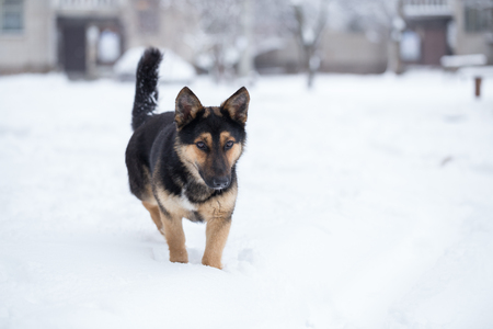 pooch: Pooch saunters in the yard. Dog goes through the snow. Stock Photo
