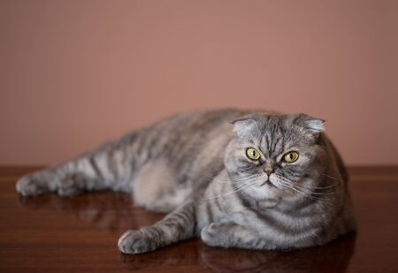 lays: Cat breed of Scottish Fold. Cat lays on table. Stock Photo