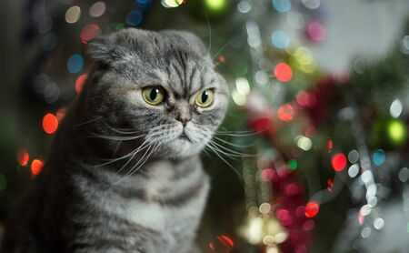 christmas pussy: Cat breed of Scottish Fold. Cat on background of Christmas tree.