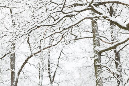 winter trees: Oak grove in the winter. Trees covered with snow after snowfall.
