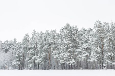 scenic view: Winter landscape. Pine forest and field covered with fresh snow after snowfall. Stock Photo