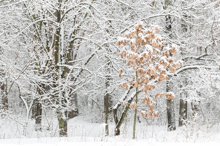 Winter landscape. Young oak grows in forest. Trees covered with snow after snowfall.