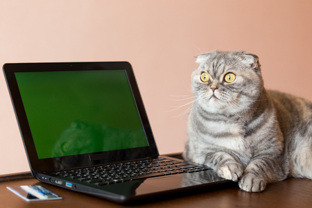 green screen: The cat lies near the laptop with green screen. Bank card located near the laptop.