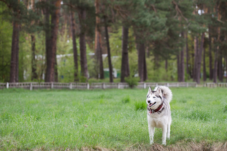 siberian pine: Siberian husky on a walk in the park. Pine forest in the background. Dog stands on the lush green grass.
