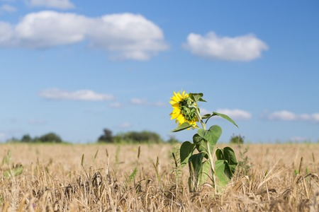 genetically modified crops: Sunflower growing among field of wheat. Agricultural land with cereal crops.