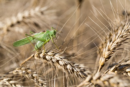 genetically modified crops: Locust on ripe wheat. Wheat field. Agricultural land with cereal crops.