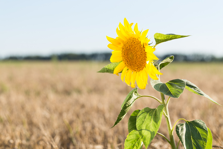genetically modified crops: Sunflower grows in the field with wheat.