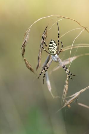 Spider lurks prey. Spider on a spider web in wild nature. Argiope bruennichi. Stock Photo
