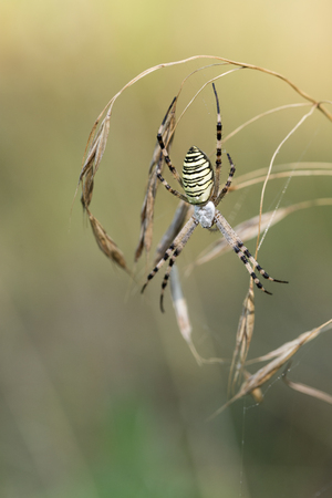 bruennichi: Spider lurks prey. Spider on a spider web in wild nature. Argiope bruennichi. Stock Photo