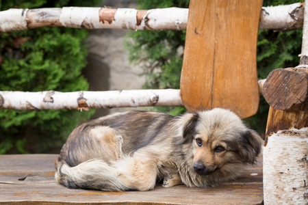 Homeless dog is lying on the wooden bench. Stock Photo