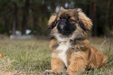 diligente: Pekinés. Perro obediente, posando para una fotografía.