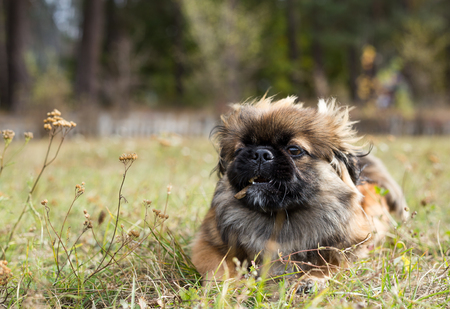Pekingese runs across the field. Dog holding a stick in his mouth.