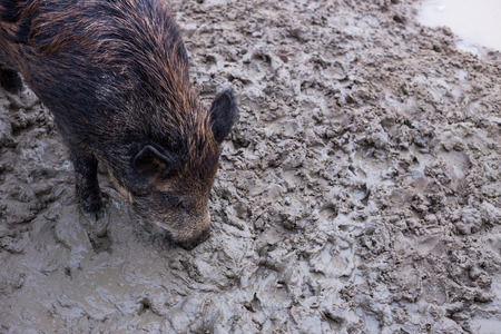 omnivores: Wild boar digs the ground nose. View from above.