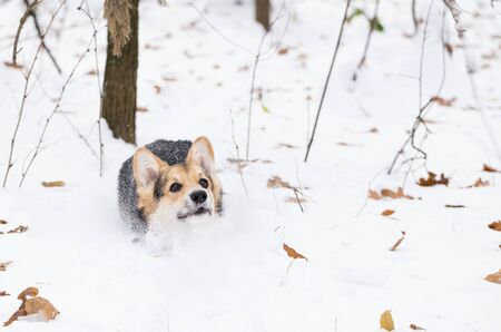 Pembroke welsh corgi in the winter. Dog is running on snow in the pine forest. Stock Photo