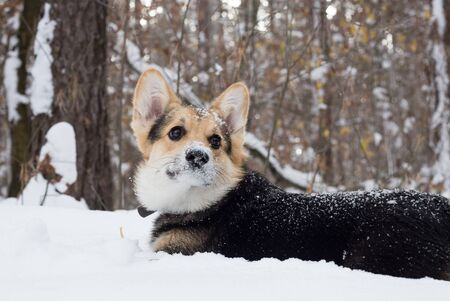 Pembroke welsh corgi in the winter forest. Dog walks in the pine forest.