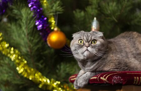 Scottish Fold cat lying on a chair. The Christmas tree is located behind the cat.