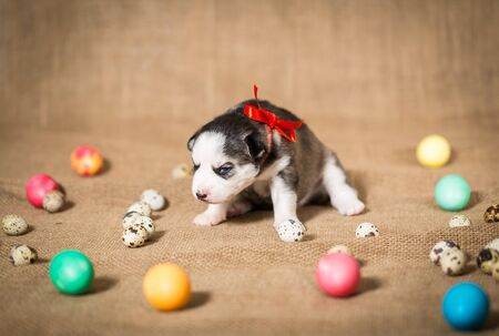 Puppy of the Siberian Husky sits surrounded by Easter eggs.