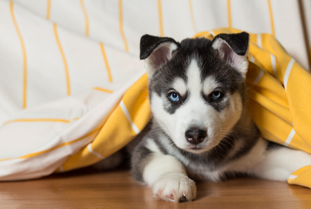 Puppy of the Siberian Husky lies on the floor under the blanket.