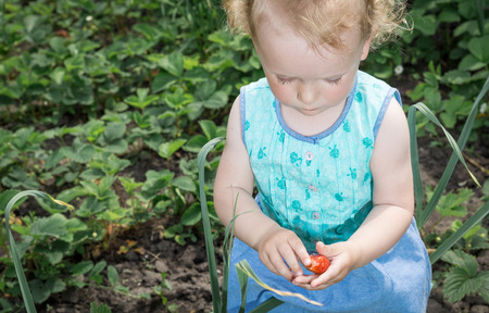 Little girl collects strawberries in the garden.