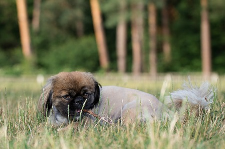 Pekingese lies in the grass and gnaws a stick.