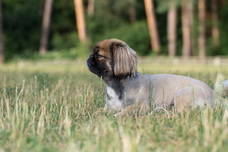 Pekingese is lying on the lawn. The dog was tonsured at the dogs salon.
