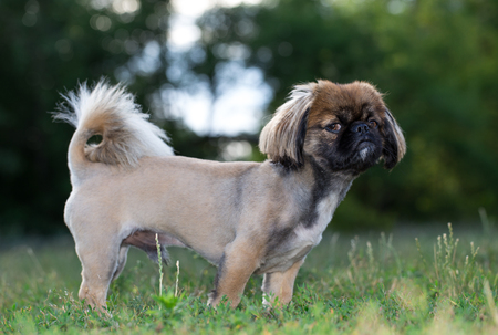 Pekingese is standing in the field. The dog was tonsured at the dogs salon.