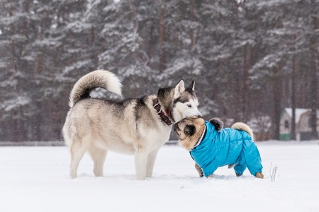 Friendship of two dogs. Pug in winter clothes for dogs. Stock Photo