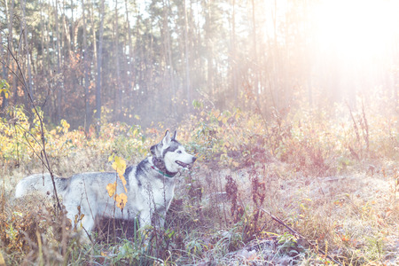 Siberian Husky on a morning walk. The grass is white from frost. The suns rays make their way through the trees in the fog.