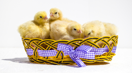 celebrate life: small chicken Stock Photo