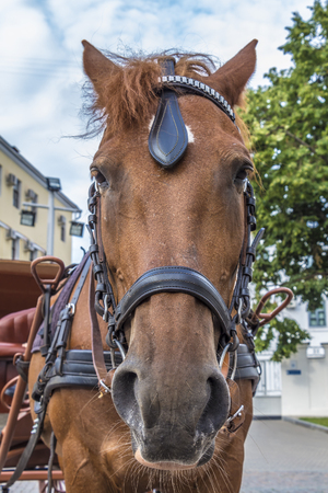 carting: Muzzle of a horse-drawn sledge in closeup.