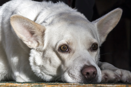 expresiones faciales: White dog tired