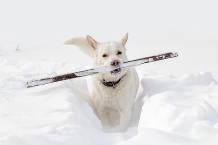 deep powder snow: A dog with a stick