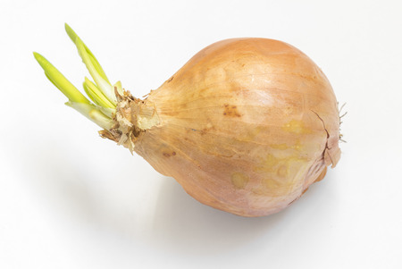 sprouted: One sprouted onion