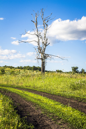 beside: The old dry birch tree stands alone beside a rural road