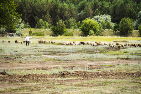 shepherd sheep: A shepherd tending a flock of sheep