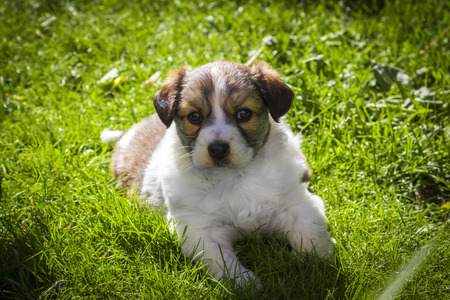 anticipation: A young handsome fluffy puppy lies on the lawn.