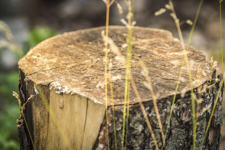 Stump of a sawn wood in the backyard close up. Stock Photo