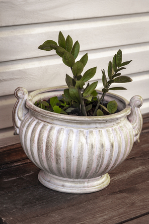 An ornamental plant in a large white flower pot is on the veranda. Stock Photo