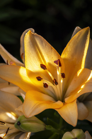 Yellow lily flowers close-up on a sunny day. Stock Photo