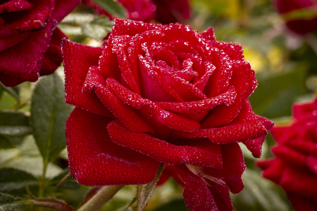 Morning dew on the heads and leaves of roses. Stock Photo