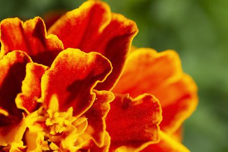 Very bright red-orange flower bud close-up.