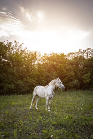 White horse in the meadow against the evening sun.