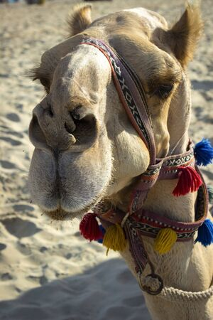 Smart face of a walking camel on the beach.