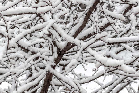 Fresh fluffy snow on tree branches on a quiet winter day.