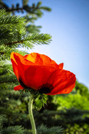 Red poppy flower close-up on a background of conifers.
