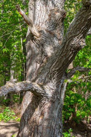 Old dry trunk of an ancient oak.