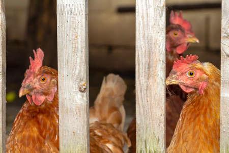 Domestic laying hens walk in the paddock in the backyard.