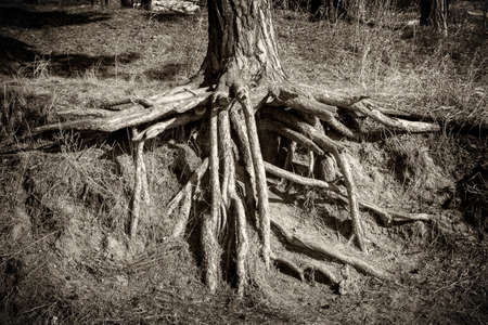Bared roots of a pine tree close-up. Black and white sepia in old photo style.
